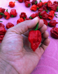 Trinidad Moruga Scorpion Pepper Harvest Adoboloco