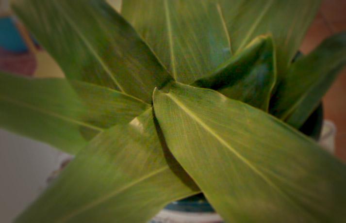 Ti Leaf Spiral