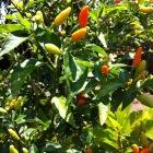 Adoboloco Maui Farm Grown Hawaiian Chili Peppers