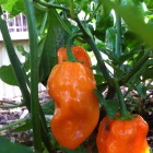 habanero, chili pepper, Maui Hawaii Grown. Orgnic Farm