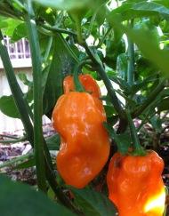 habanero, chili pepper, Maui Hawaii Grown. Orgnic Farm