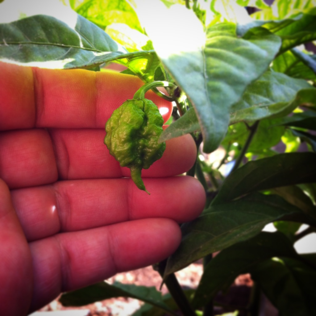 Adoboloco-Carolina-Reaper-Green-In-the-garden-Maui-Hawaii-stinger